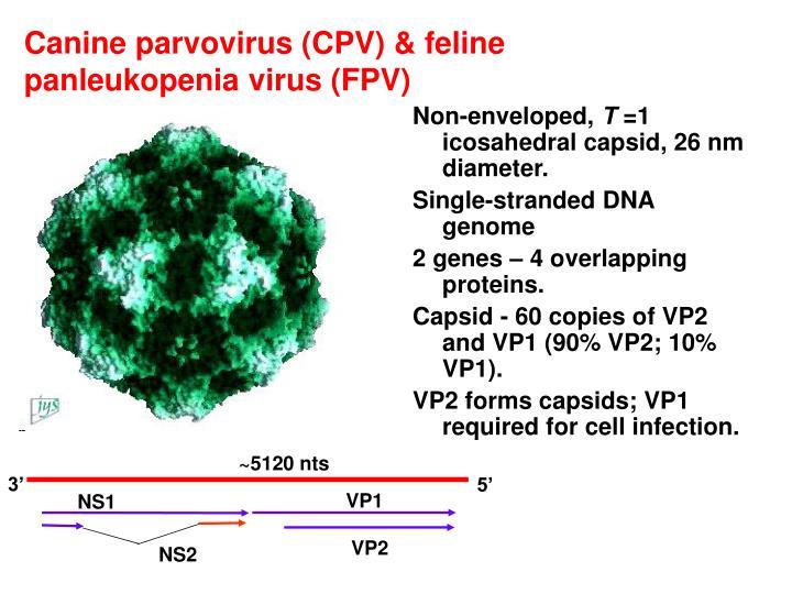 Canine parvovirus cpv feline panleukopenia virus fpv
