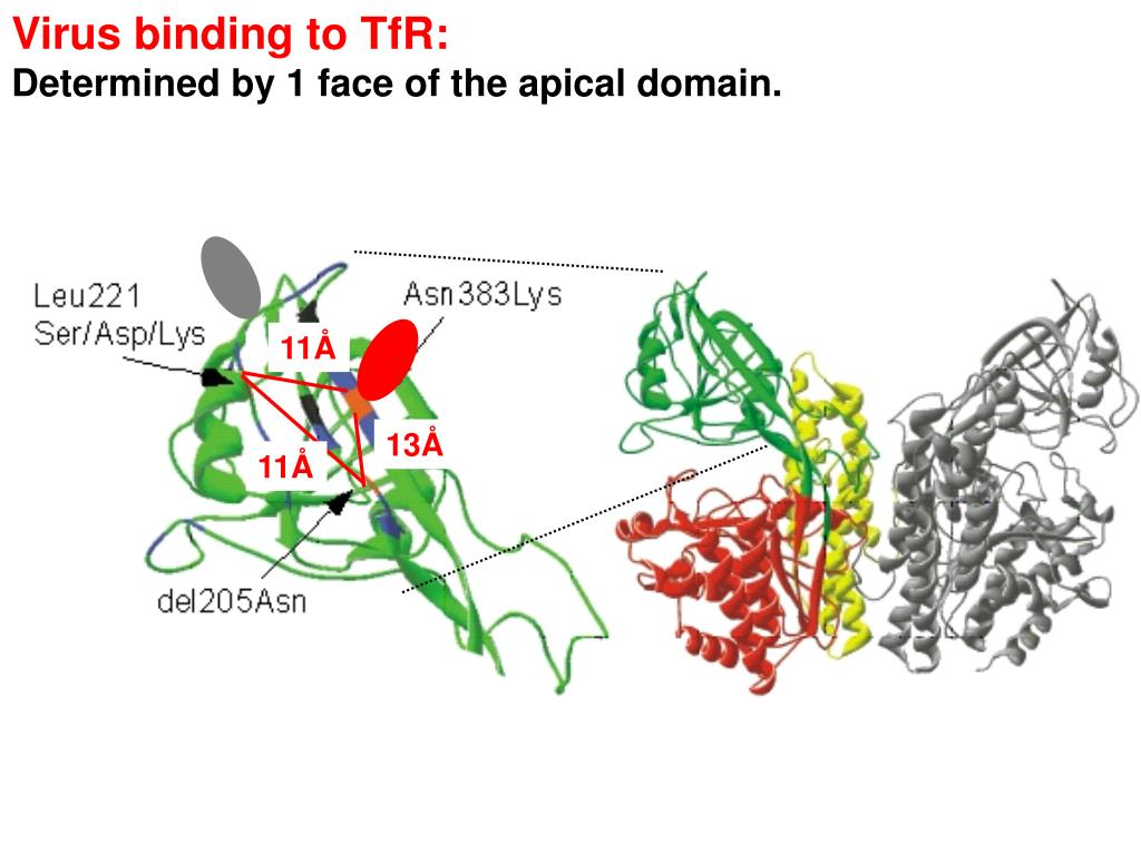 Virus binding to TfR: