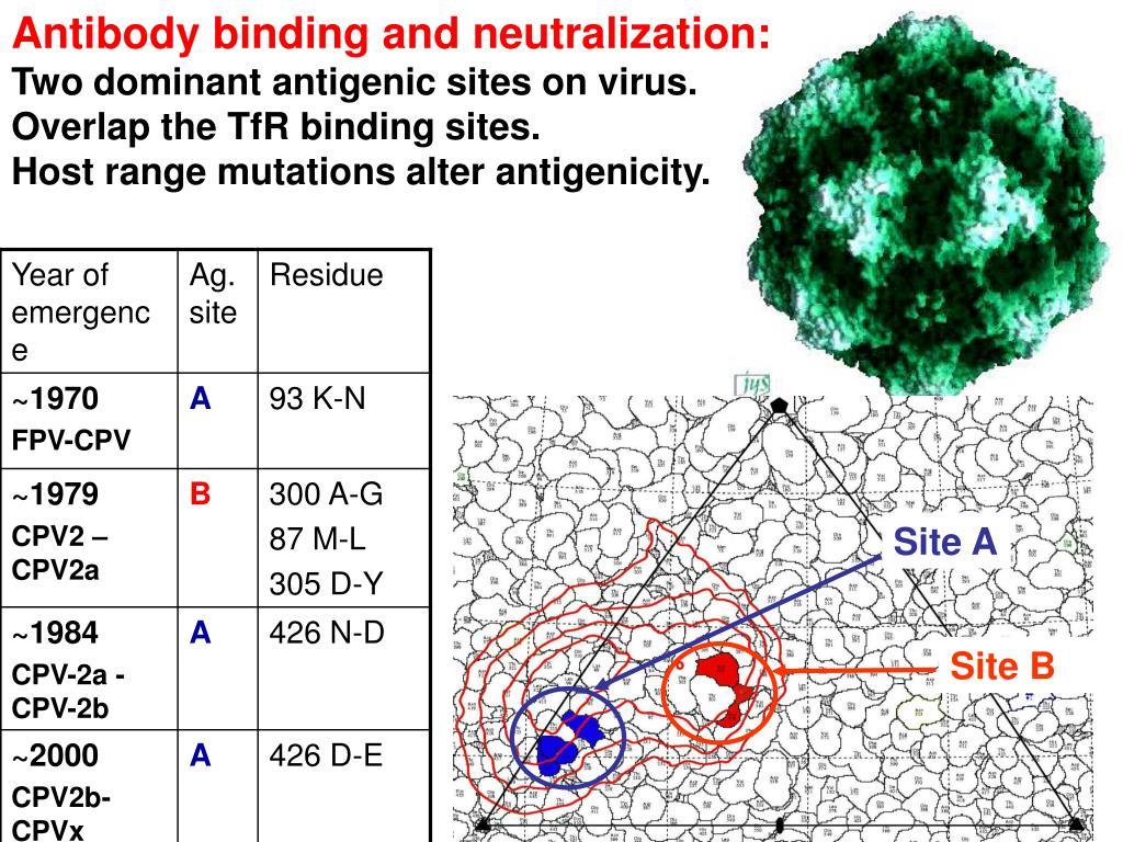 Antibody binding and neutralization: