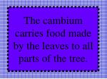 the cambium carries food made by the leaves to all parts of the tree