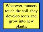 wherever runners touch the soil they develop roots and grow into new plants