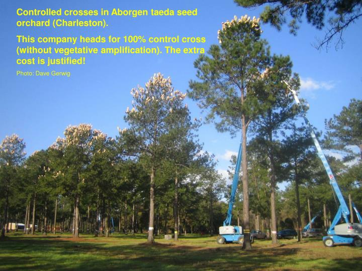 Controlled crosses in Aborgen taeda seed orchard (Charleston).