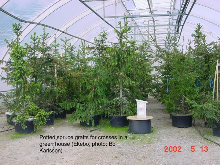 Potted spruce grafts for crosses in a green house (Ekebo, photo: Bo Karlsson)