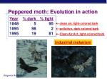 peppered moth evolution in action