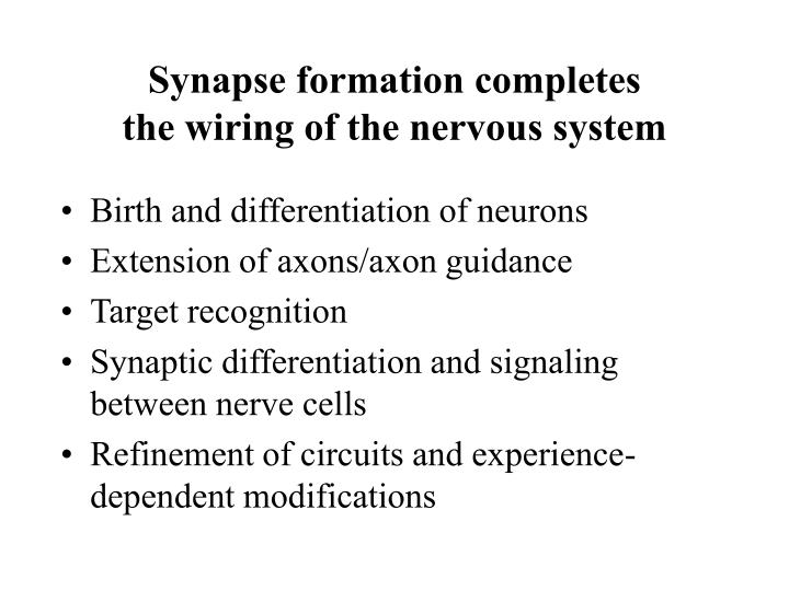synapse formation completes the wiring of the nervous system n.