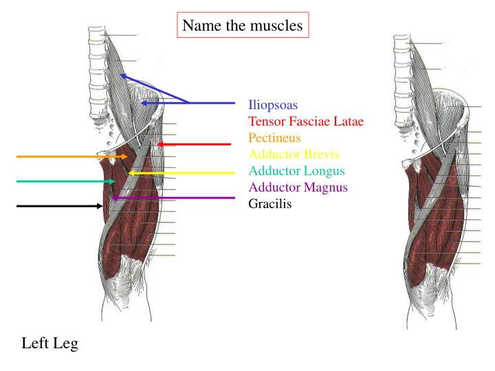 Name the muscles