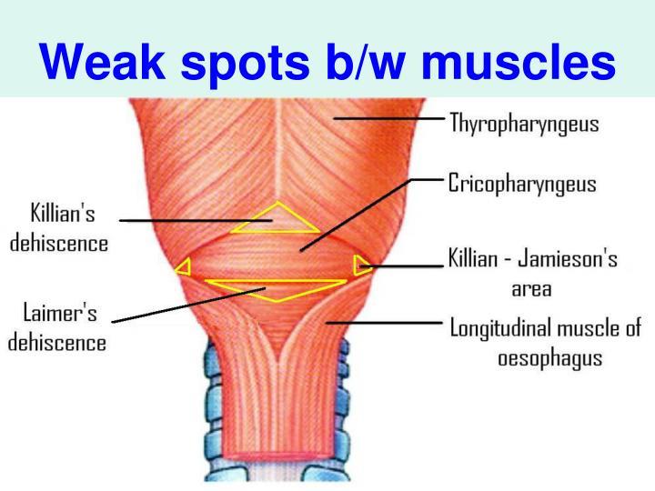 Weak spots b/w muscles