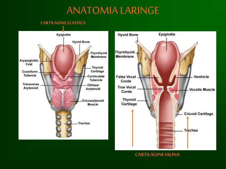 Lujo Laringe Imágenes De Anatomía Componente - Anatomía de Las ...