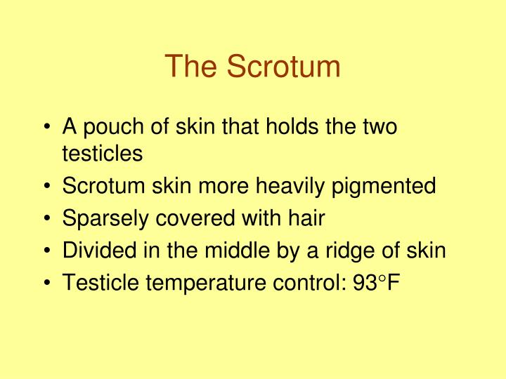 The Scrotum