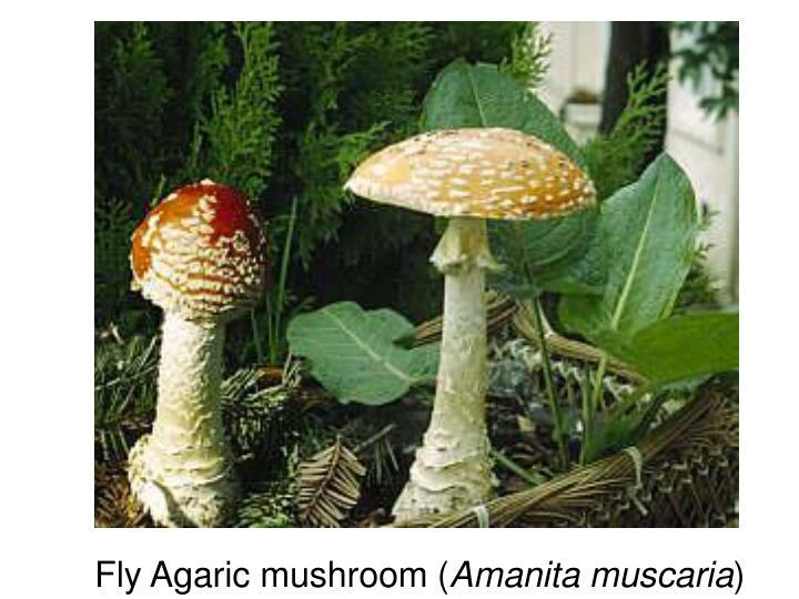 Fly Agaric mushroom (