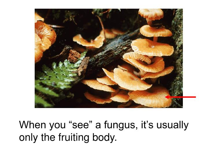 """When you """"see"""" a fungus, it's usually only the fruiting body."""