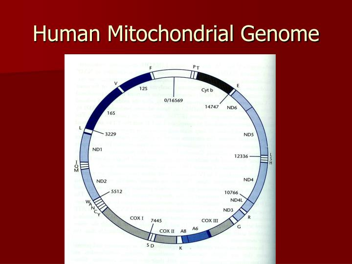 Human Mitochondrial Genome