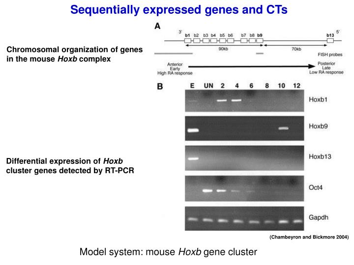Sequentially expressed genes and CTs