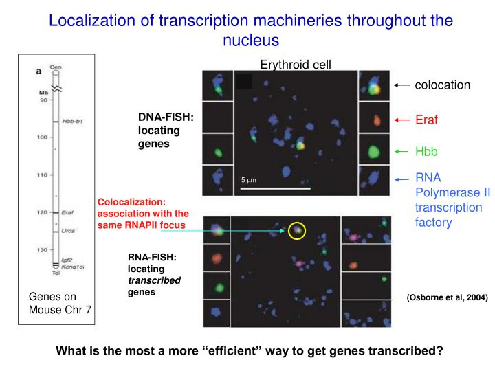 Localization of transcription machineries throughout the nucleus