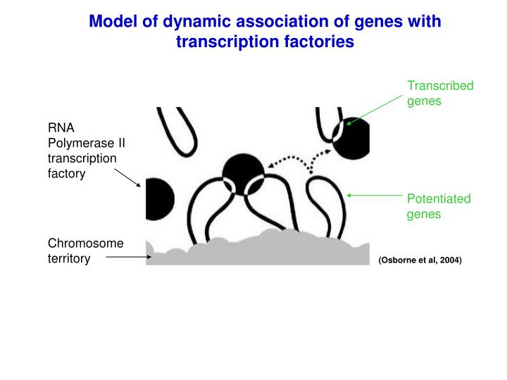 Model of dynamic association of genes with transcription factories