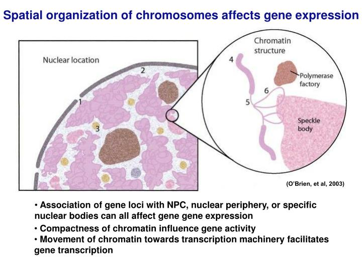 Spatial organization of chromosomes affects gene expression