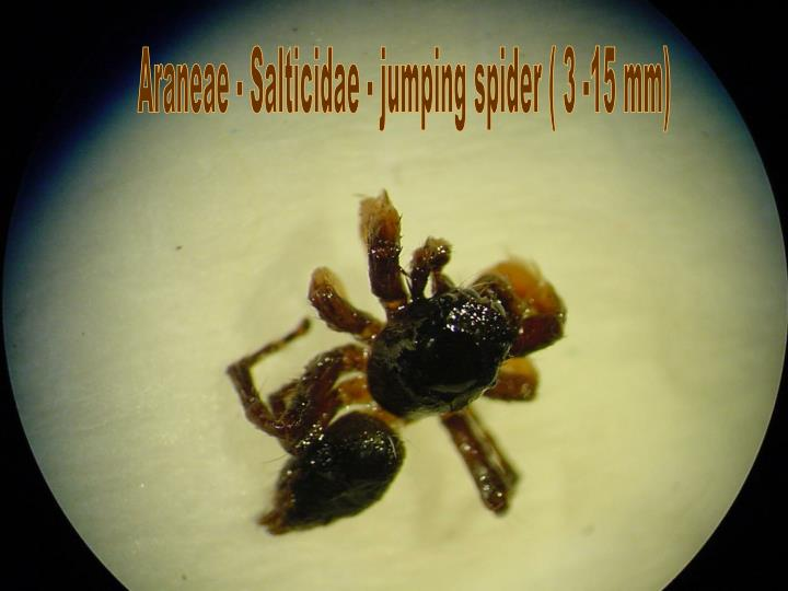 Araneae - Salticidae - jumping spider ( 3 -15 mm)