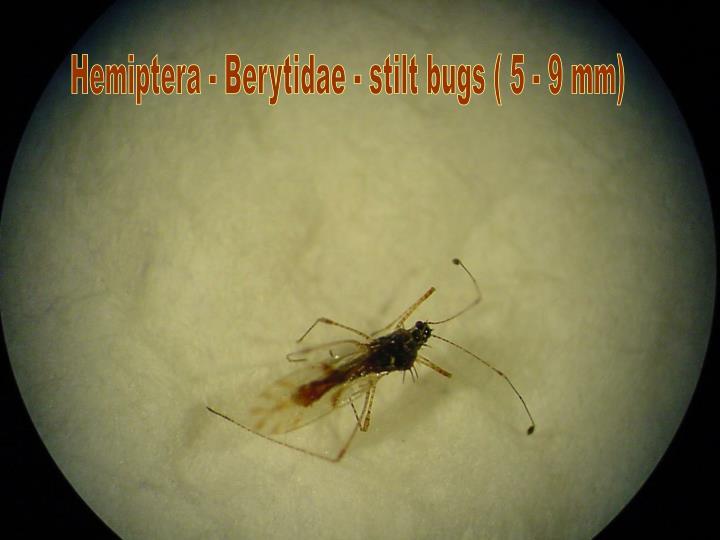 Hemiptera - Berytidae - stilt bugs ( 5 - 9 mm)