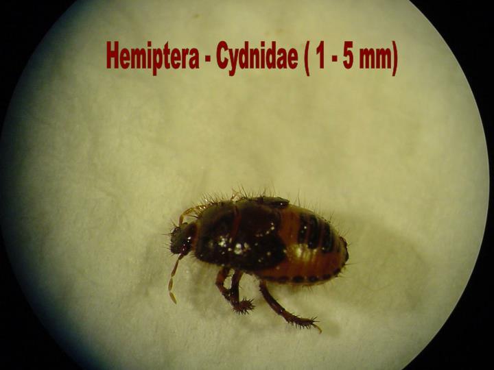 Hemiptera - Cydnidae ( 1 - 5 mm)