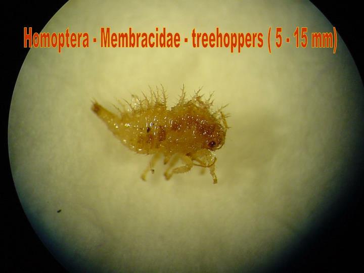 Homoptera - Membracidae - treehoppers ( 5 - 15 mm)