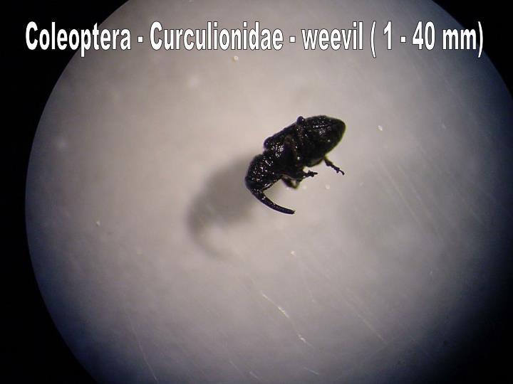 Coleoptera - Curculionidae - weevil ( 1 - 40 mm)