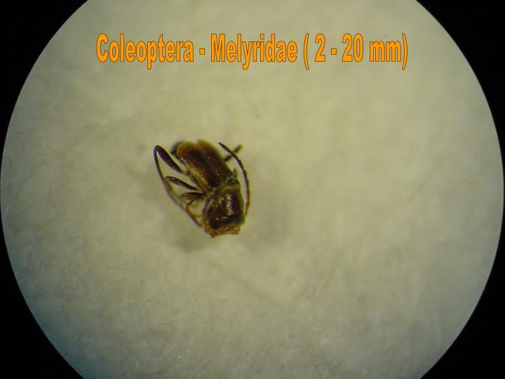 Coleoptera - Melyridae ( 2 - 20 mm)