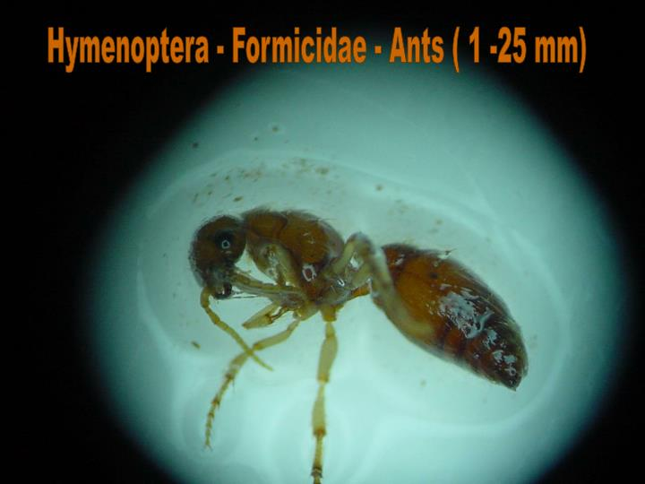 Hymenoptera - Formicidae - Ants ( 1 -25 mm)