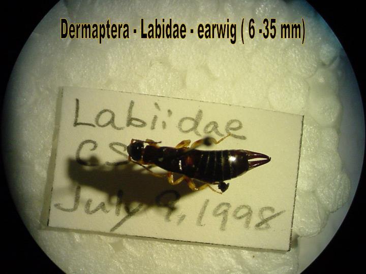 Dermaptera - Labidae - earwig ( 6 -35 mm)