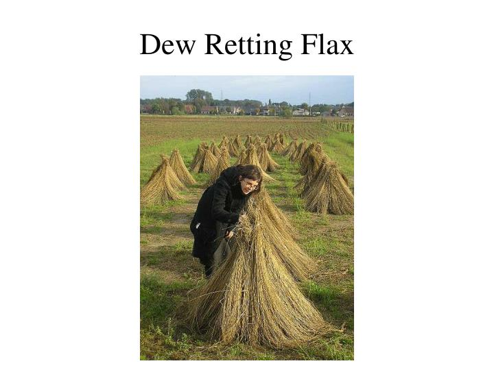 Dew Retting Flax