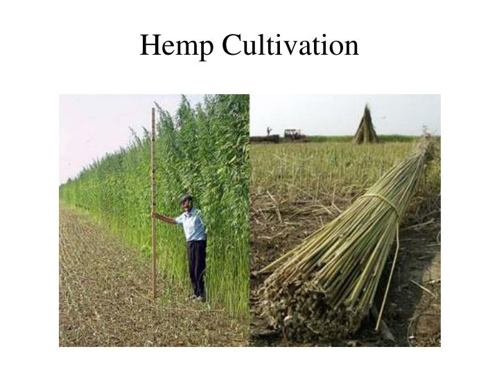 Hemp Cultivation