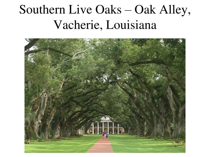Southern Live Oaks – Oak Alley, Vacherie, Louisiana