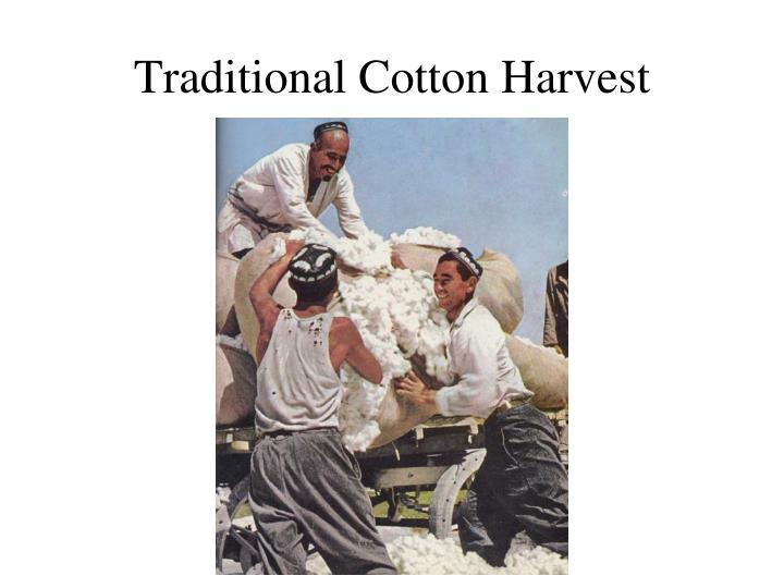 Traditional Cotton Harvest