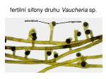 fertiln sifony druhu vaucheria sp