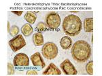 odd heterokontophyta t da bacillariophyceae podt da coscinodiscophycidae d coscinodiscales1