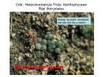 odd heterokontophyta t da xanthophyceae d botrydiales