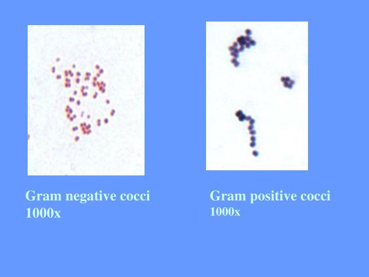 Gram negative cocci 1000x