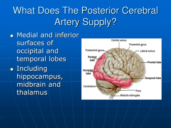 What Does The Posterior Cerebral Artery Supply?