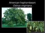 american hophornbeam ostrya virginiana