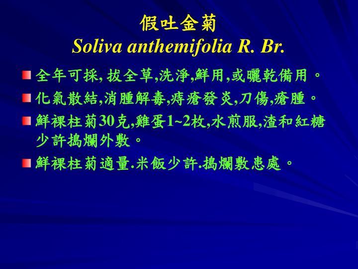 Soliva anthemifolia r br