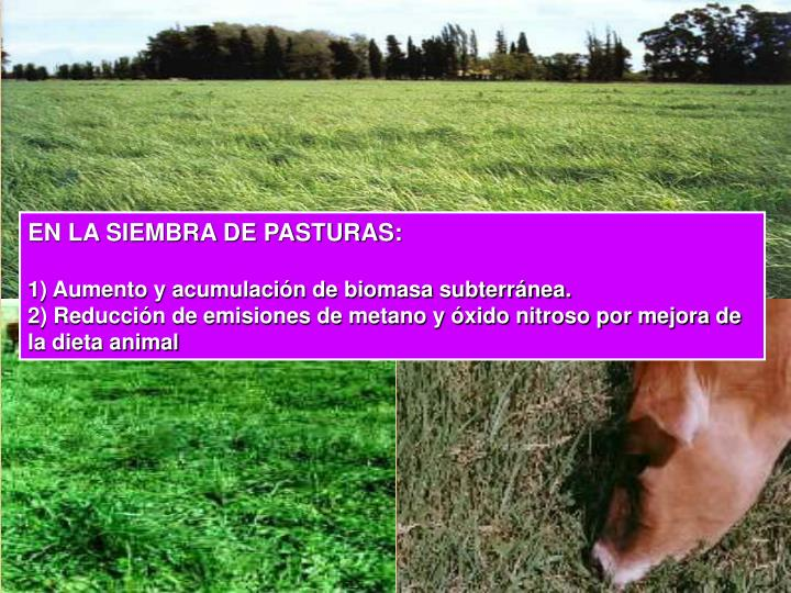 EN LA SIEMBRA DE PASTURAS: