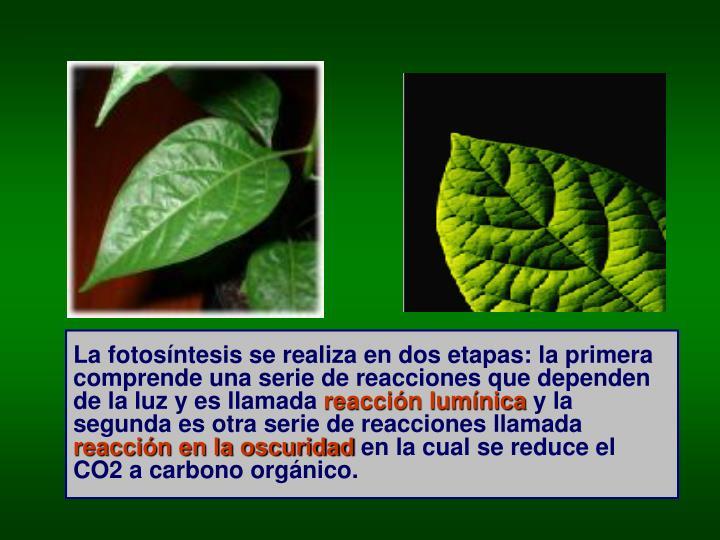 La fotosíntesis se realiza en dos etapas: la primera comprende una serie de reacciones que dependen de la luz y es llamada