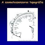 a szomatoszenzoros topogr fia