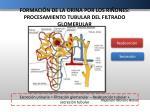 formaci n de la orina por los ri ones procesamiento tubular del filtrado glomerular
