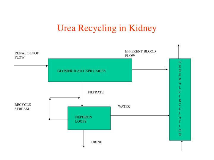 Urea Recycling in Kidney