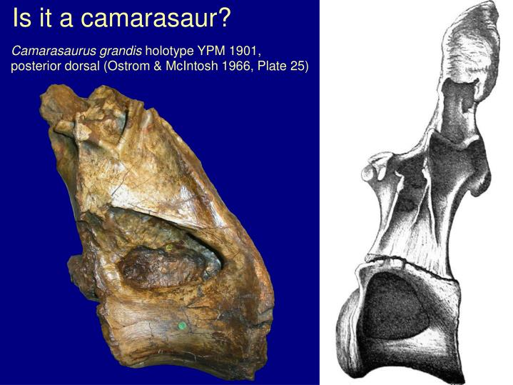 Is it a camarasaur?