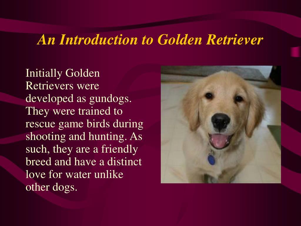 An Introduction to Golden Retriever