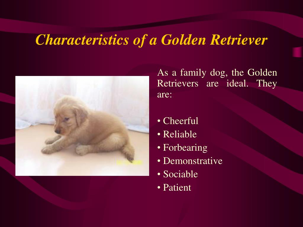 Characteristics of a Golden Retriever