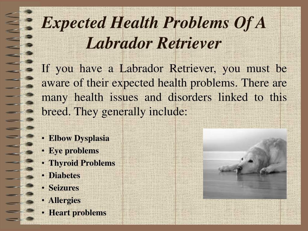 If you have a Labrador Retriever, you must be aware of their expected health problems. There are many health issues and disorders linked to this breed. They generally include: