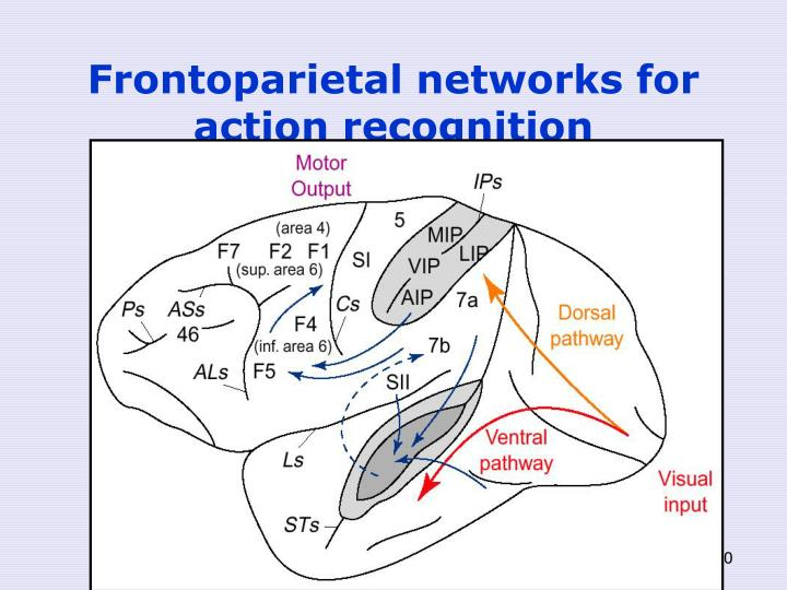 Frontoparietal networks for action recognition
