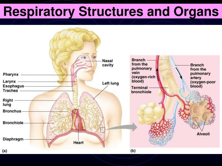 Respiratory Structures and Organs